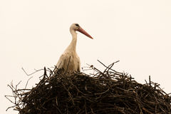 Elegant stork with its nest Royalty Free Stock Photography