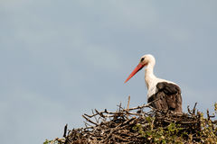 Elegant stork with its nest Stock Photography