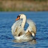 elegant stum swan Arkivbilder
