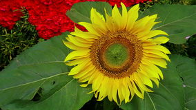 Elegant sunflower. Beautiful and elegant sunflower moving slowly in the wind stock footage