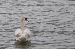 Elegant svan på vattenyttersidan royaltyfri foto