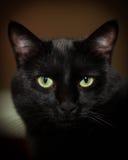 elegant svart katt Fotografering för Bildbyråer