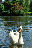 Elegant Swan. This is taken in the Boston Public Garden Royalty Free Stock Photos