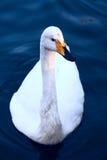 Elegant Swan. A beatiful swan in the swan lake Royalty Free Stock Photo