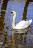 elegant swan Arkivbilder
