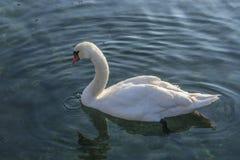 Elegant swan bird. Royalty Free Stock Photo