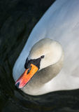 Elegant Swan Stock Photography