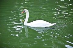 Elegant Swan Floating on the Lake Royalty Free Stock Photos