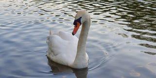Elegant Swan arkivbild