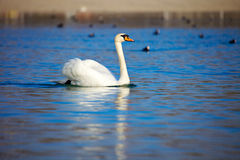Elegant Swan on the lake Stock Image