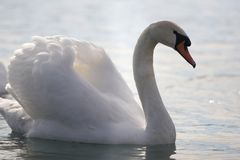 Elegant swan in a lake Stock Images