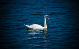 An elegant swan on a lake. They are the most beautiful birds Stock Photos