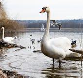 Elegant Swan royalty free stock photography