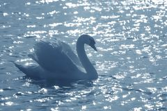 Elegant swan in a pond stock photo