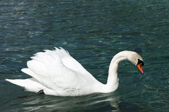 Elegant swan swims at blue lake Royalty Free Stock Photography