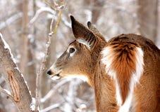 elegant tailed white för hjortar Arkivbild