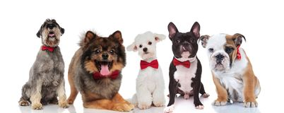 Elegant team of five cute dogs with bowties. Elegant team of five cute dogs of different breeds with bowties sitting and lying on white background Stock Photos