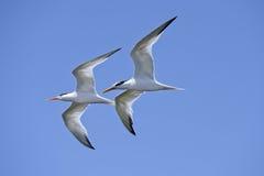 Elegant tern Stock Images