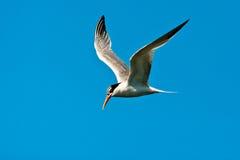 Elegant Tern Royalty Free Stock Images
