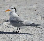 Elegant Tern Seabird Stock Photo