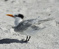 Elegant Tern Seabird Royalty Free Stock Photo