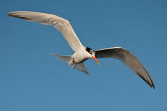 Elegant Tern (Thalasseus elegans) Royalty Free Stock Photos