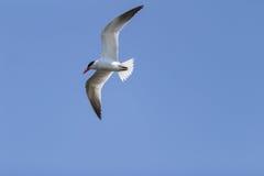 Elegant tern, Thalasseus elegans, fishing Stock Photography