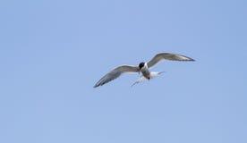 Elegant tern, Thalasseus elegans, fishing Stock Photos