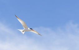 Elegant tern, Thalasseus elegans Stock Photo