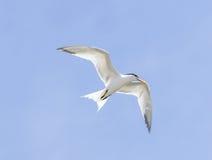 Elegant tern, Thalasseus elegans Royalty Free Stock Photography
