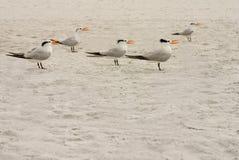 Elegant Terns Singing Stock Images