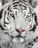 Elegant tiger Stock Image