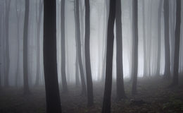 Elegant trees in a forest with fog Royalty Free Stock Photo