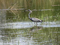 Elegant Tri Colored Heron Wading in grassy shallows. Profile pose of a tri colored heron wading in the grassy shallows on the Inter-coastal waterway, Oak Island stock photography