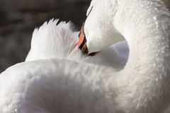 Elegant trumpeter swan cleaning its feathers with its beak, clos. Eup detail Stock Photos
