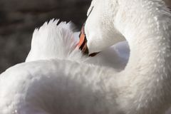 Elegant trumpeter swan cleaning its feathers with its beak, clos. Eup detail Royalty Free Stock Photos