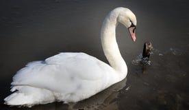Elegant Trumpeter Swan Stock Image