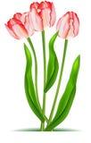 Elegant tulips Royalty Free Stock Image