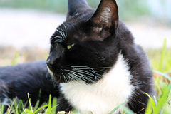 Elegant tux cat in profile Royalty Free Stock Photo