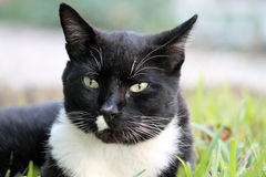 Elegant tux cat face looking at camera Stock Photos