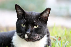 Elegant tux cat face Stock Images