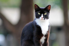 Elegant tuxedo cat. Looks straight into the camera Royalty Free Stock Images