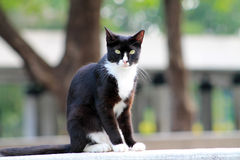 Elegant tuxedo cat sitting Royalty Free Stock Image