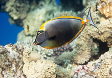 elegant unicornfish Arkivbild