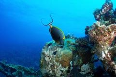 Elegant unicornfish Royalty Free Stock Photography