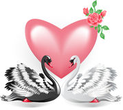 Elegant white and black swan Stock Photo