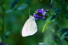 Elegant white butterfly Stock Photography