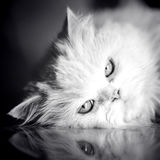 Elegant White Cat Stock Images