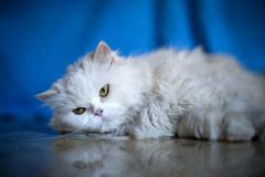 Elegant white cat. Picture of elegant white cat, persian breed Royalty Free Stock Photo