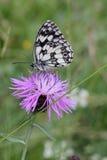 elegant white för svart fjäril Arkivbilder
